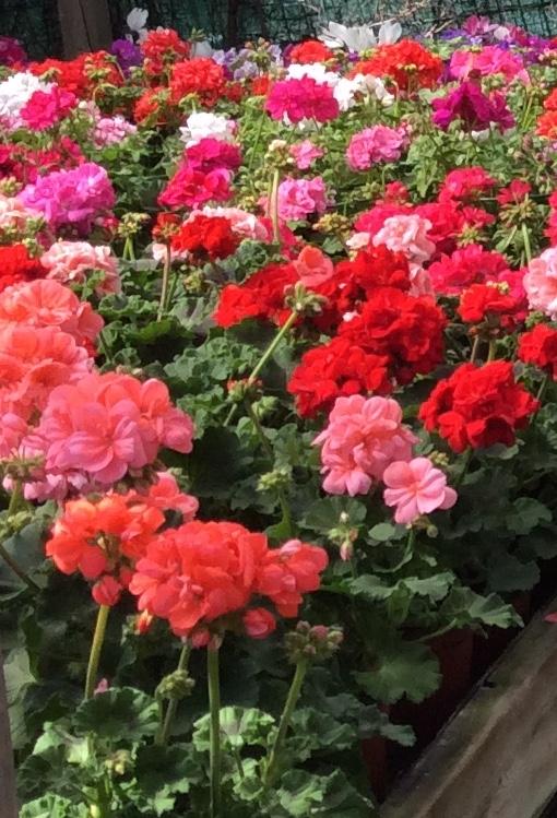 Fleurs rue de russie cannes